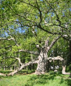 Granby Oak tree---most awesome tree in CT.
