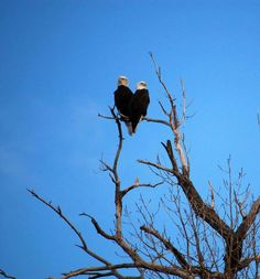 Happy Valentines Day from Colorado. Image of two bald eagles forming a heart. Image copyright: Ed Dalton. Click on image to link to more info. Image not for commercial use without permission.