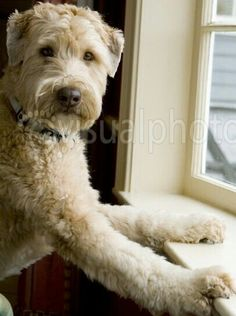 Wheaten Terrier--- Lol, that looks exactly like Jasper!!