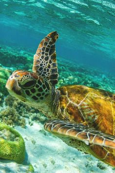 one of my favorite sea turtle pics. drifting away Baby Sea Turtles, Cute Turtles, Planeta Animal, Sea Turtle Pictures, Tortoise Turtle, Turtle Love, Ocean Turtle, Ocean Creatures, Tier Fotos