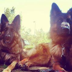 Ziva & Gibbs. Long hair german shepherd.  Beautiful dog!! Alsations