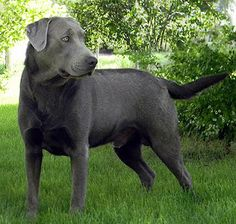 facts about the silver lab I want one named Nikki if it was a girl or Champ if it was a boy