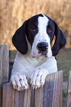 #Great #Dane, One of my favorites :)