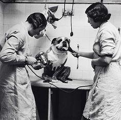 Poodle Parlour, London. Photographed by Edith Tudor-Hart. 1936.