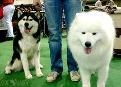 Husky & Samoyed