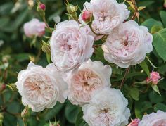 David Austin rose The Albrighton Rambler has small, soft pink flowers with a button eye that bloom in large sprays. While many ramblers bloom only once per season, The Albrighton Rambler will repeat all season.