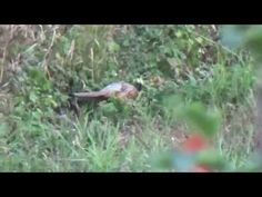 Pheasant - Video 4 - YouTube