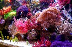 Anyone grow macro algae - Reef Central Online Community