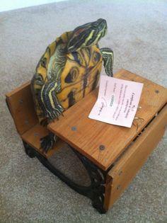 Red Eared Slider turtle sitting in school desk ready to learn.