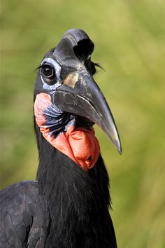 The eyelashes on Abyssinian ground hornbills are really modified feathers to keep sand out of their eyes.