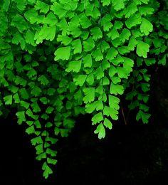 Maidenhair Fern by Helen | Flickr - Photo Sharing!