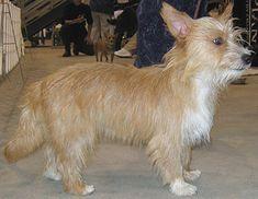 wirehaired portuguese podengo pequeno dog