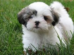 Small hypoallergenic dog breeds small hypoallergenic dogs with