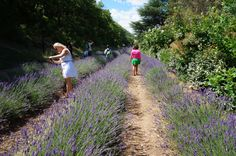 Passports & Pomme Frites : Fields of Lavender #Provence #France
