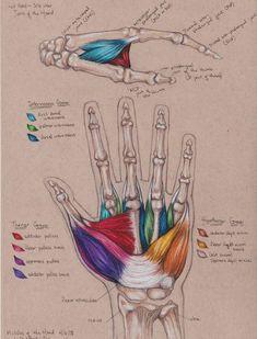 Anatomía muscular de la mano. Zona de los metacarpianos. La Unidad Especializada en Ortopedia y Traumatologia www.unidadortopedia.com PBX: +571-6923370, Móvil: +57-3175905407, Bogotá, Colombia.