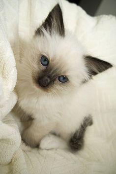 imagenes de gatos siameses bebes tiernos , Buscar con Google