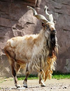 The markhor is a large species of wild goat that is found in northeastern Afghanistan and Pakistan. The species is classed by the IUCN as Endangered, as there are fewer than 2,500 mature individuals. The markhor is the national animal of Pakistan. While chewing the cud, a foam-like substance comes out of its mouth which drops on the ground and dries. This foam-like substance is sought after by the local people, who believe it is useful in extracting snake poison from snake bitten wounds.