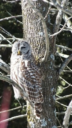 Barred Owl sitting on a tree - Cranberry West Tract - Whitby