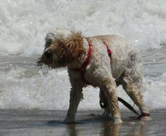 Harpo waiting on the waves in Hatteras! www.midgettrealty.com