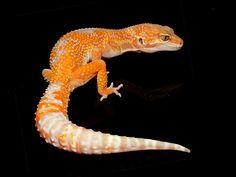 """""""Salsa"""" Leopard Gecko"""