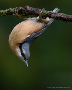 Red-breasted Nuthatch (Sitta canadensis) found in the coniferous forests of North America