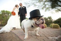 #dogs #englishbulldog #wedding