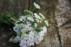 Yarrow Uses And Benefits - Achillea millefolium