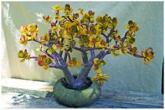 sunset jade Propagate Succulents From Leaves, Flowering Succulents, Succulent Bonsai, Colorful Succulents, Succulent Gardening, Succulents In Containers, Planting Succulents, Container Gardening, Jade Bonsai