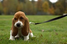 Basset Hound Puppy :) can't wait till we can get our Bassett a brother or sister!