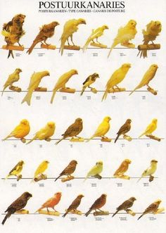 Canaries bred for BODY type and posture.