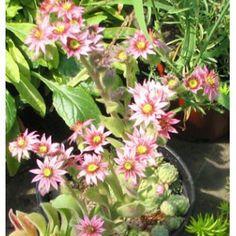 "Sempervivum arachnoides ""Atropurpurea"""