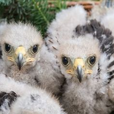 Harris's hawk chicks sit in a nest at the Walsrode Bird Park