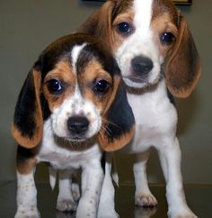Cuties! Both will have brown ears.