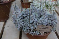 Photo #28937 | Kalanchoe rhombopilosa | plant lust