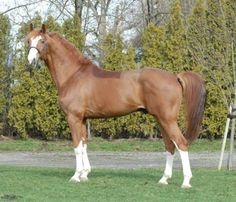 Bon Balou 2006 16.3 Hanoverian Chestnut Stallion Lisc. Hann, SWB, DWB This horse actually takes my breath away