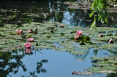 Water Lilies in Claude Monet's Pond in Giverny
