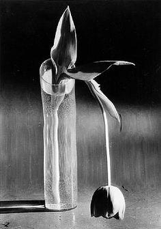 Andre Kertesz: 'Melancholic Tulip', New York, 1939.