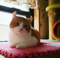 与作ちゃん。#cat #アメリカンカール