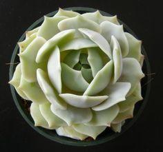 Echeveria ou Rosa-de-Pedra (Echeveria elegans)