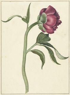 Bloem van de pioenroos, C.J. Kruimel, 1800. Antique botanical peony illustration.