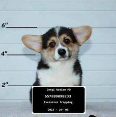 That look alone establishes innocence! #corgi