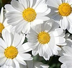 marguerite daisy white. originally from the canary islands, they appeared in england around 1670, and have been popular ever since due to their simple charm. The latin word for 'pearl' is margarita which means not only the jewel, but also defines the color.