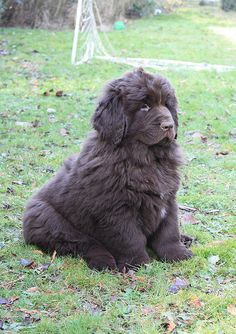 Newfoundlander puppy! Oh my gosh!!!! Can they stay that size?