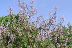 It was the custom to plant  pao tong (Chinese name for the tree) when a daughter was born to the household.  The daughter's growth to womanhood was synchronous  with  the growth of the  tree. As was the custom, the local matchmakers would made the rounds of  farmhouses seeking young women for marriage, and would be drawn to the farmhouse that was graced by the larger trees. The tree was then lumbered and used to make wooden objects as dowry for the planned new household.
