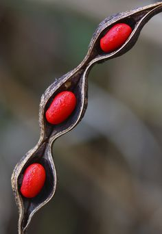 Coral Bean - The red seeds of Coral Bean (Erythrina herbacea) remain nestled in their open pod. They are toxic to humans, and since they have persisted into the late Winter it seems likely that there are no animals there that eat them. Organic Form, Organic Shapes, Organic Lines, Patterns In Nature, Textures Patterns, Fungi, Planting Seeds, Planting Flowers, Flora