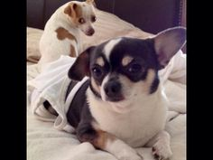 """""""When do we leave ... Eh?  Max and Blou are ready : )""""  #ElPortalSedona  #petphotocontest  #SedonaGetaway"""