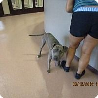This Dog - URGENT - Alvin Animal Adoption Center in Alvin, Texas - ADOPT OR FOSTER - Adult Male American Pit Bull Terrier Mix