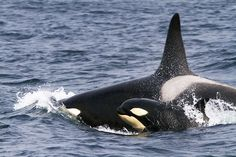 Killer Whale with baby (Orcinus Orca) by Massimo Cocco | Flickr