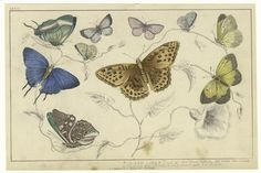 from New York Public Library - botanical book on butterflies of North America  from 19th century