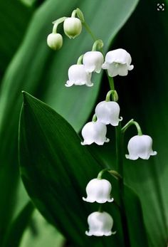 Lily of the Valley- mine are in full bloom. They are fragrant and delicate. My Flower, Pretty Flowers, White Flowers, Wonderful Flowers, Blue Bell Flowers, Lilly Flower, Colorful Roses, White Lilies, Tiny Flowers